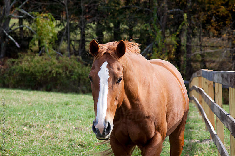 Horse with Blaze walking towards camera by Sari Wynne Ruff for Stocksy United