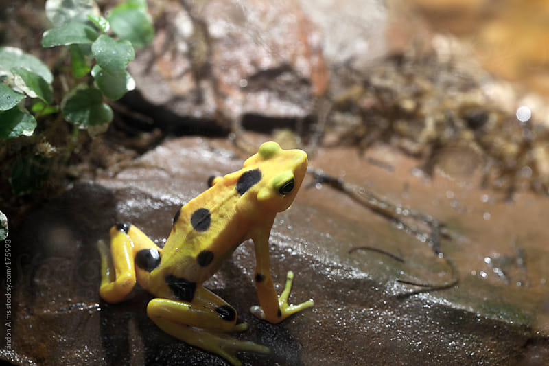 Panamanian Golden Frog by Brandon Alms for Stocksy United