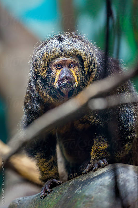primate looking like a long lost member of The Beatles by ALAN SHAPIRO for Stocksy United