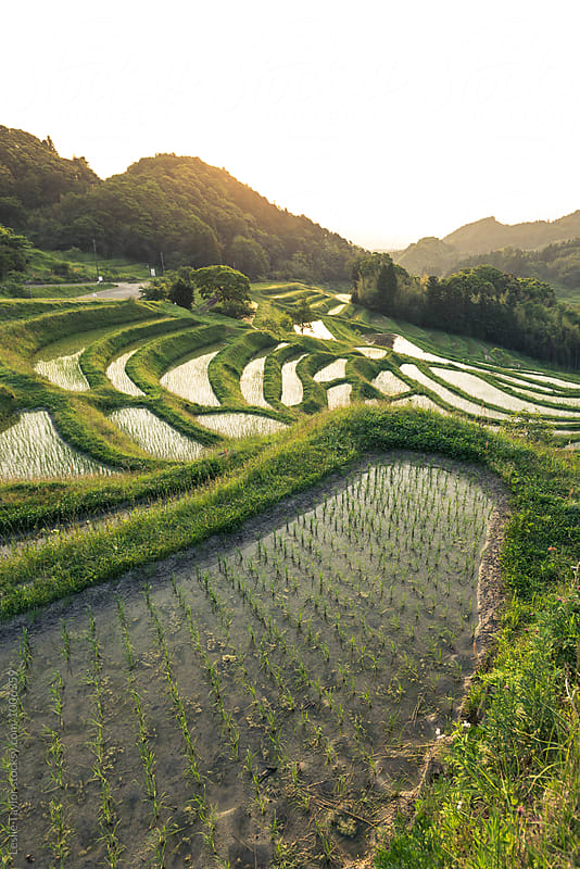 Terraced Rice Paddies In Japan by Leslie Taylor for Stocksy United