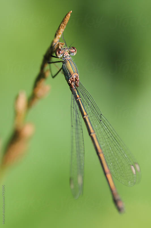 Damselfly on a grass stalk by Marcel for Stocksy United
