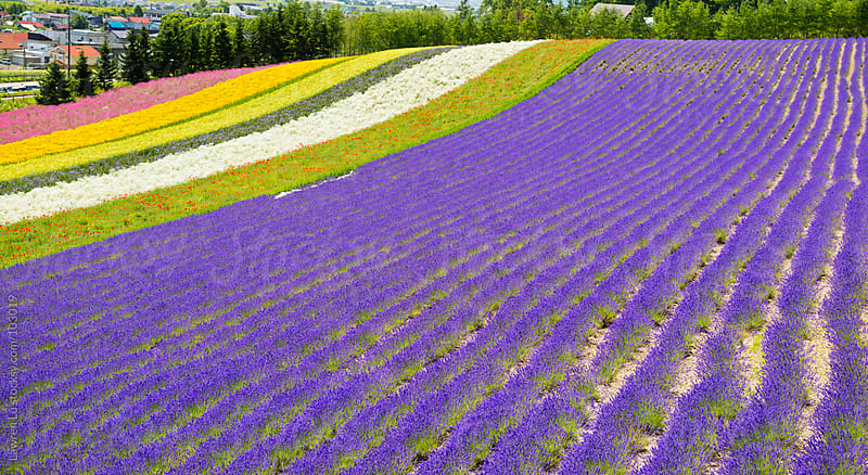 Lavender field with multicolor flowers by Lawren Lu for Stocksy United