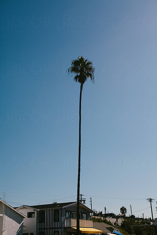 Very tall palm tree in Los Angeles. by kkgas for Stocksy United