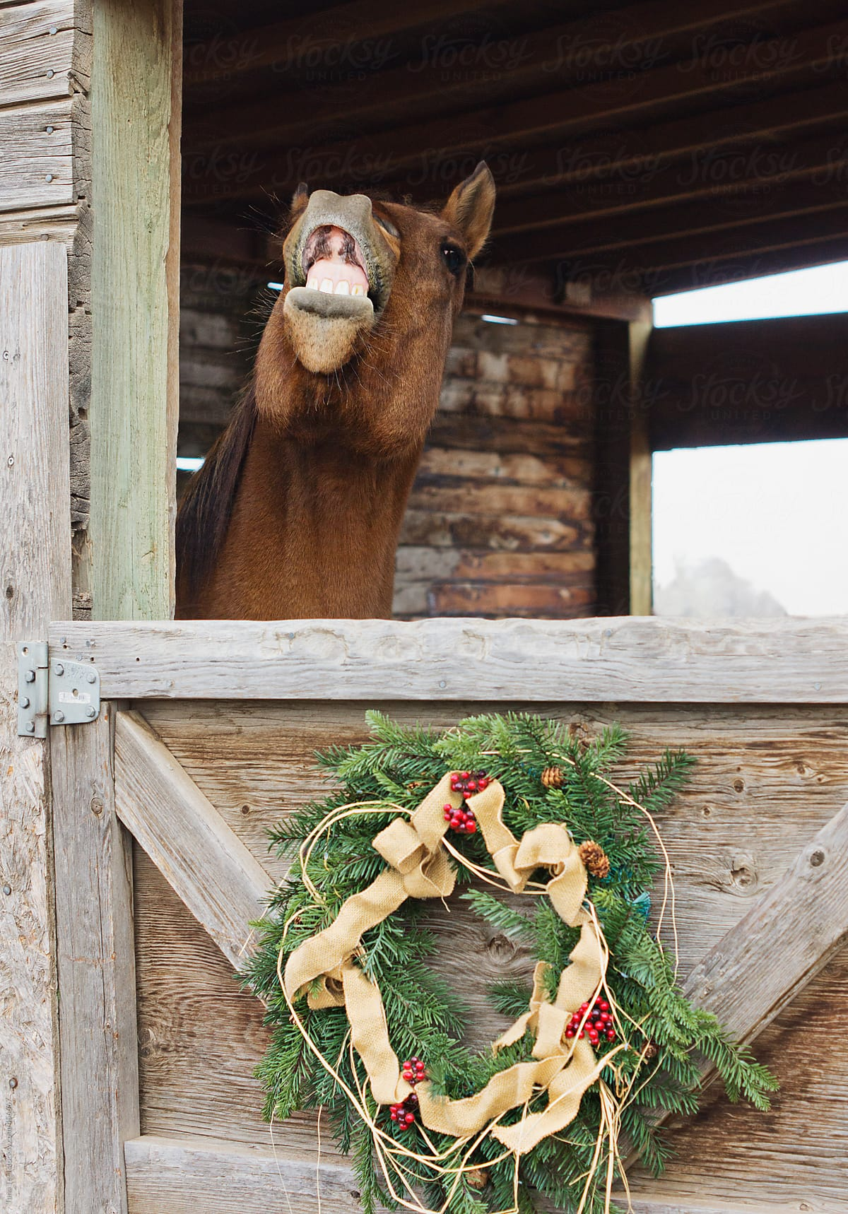 Horse Shows Teeth Out A Stall Door With Christmas Wreath Decoration By Tana Teel Stocksy United