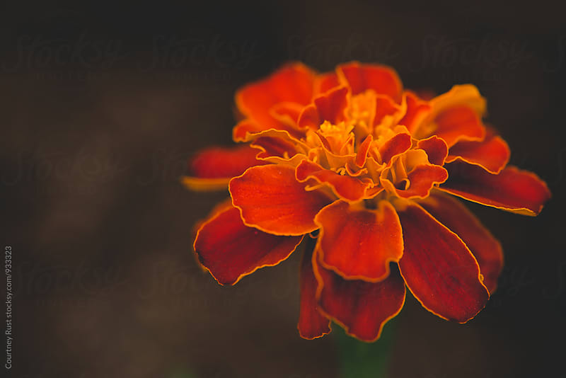 Burnt Orange Marigold by Courtney Rust for Stocksy United