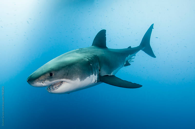 Great White Portrait by Shane Gross for Stocksy United