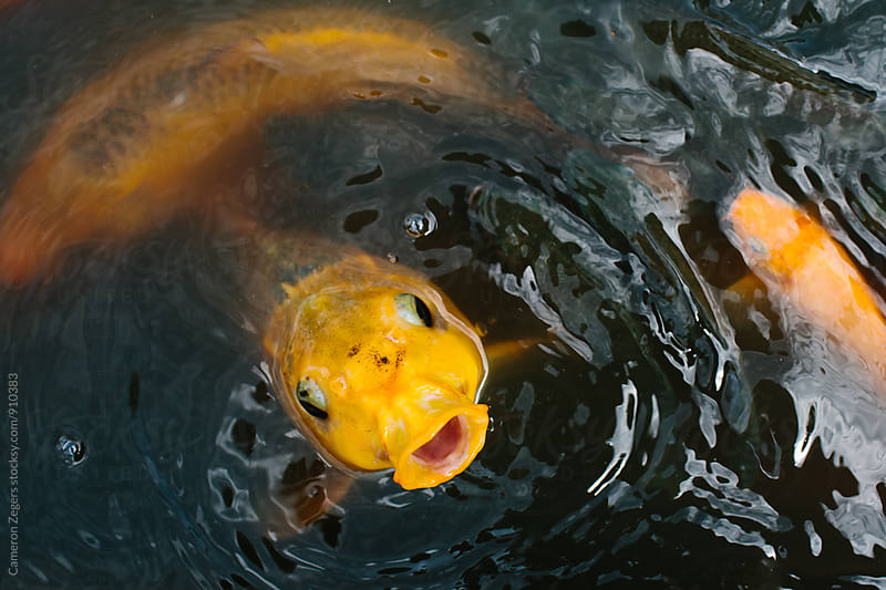 Koi fish with mouth wide open by Cameron Zegers for Stocksy United