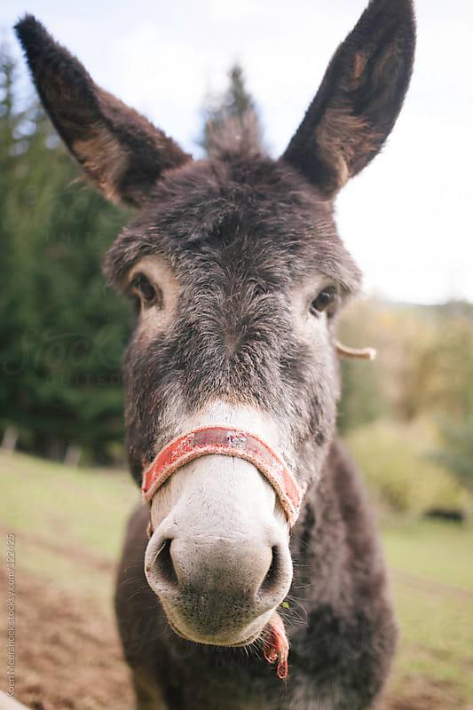 Portrait of a donkey. by Koen Meershoek for Stocksy United