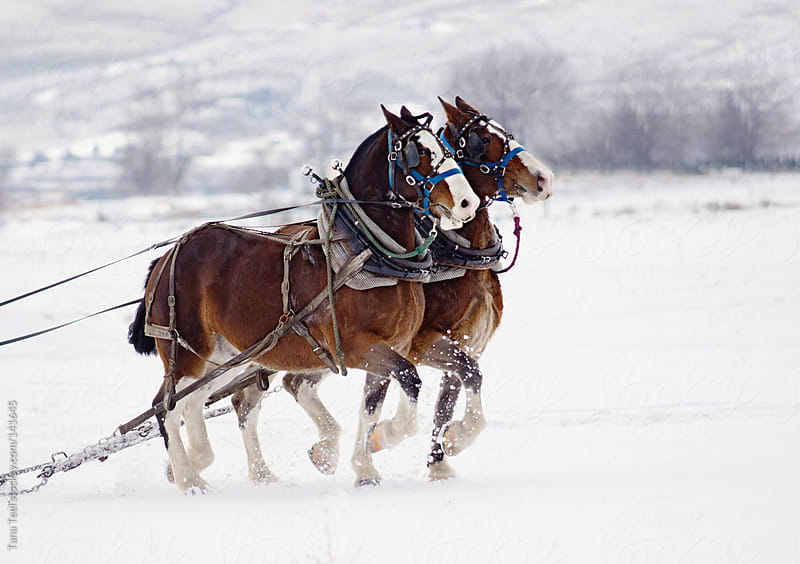 Draft horses pulling sled in a snowy field by Tana Teel for Stocksy United