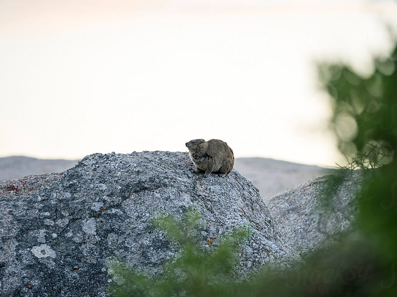 Hyrax or Rock Rabbit on Boulders Beach Capetown South Africa by DV8OR for Stocksy United