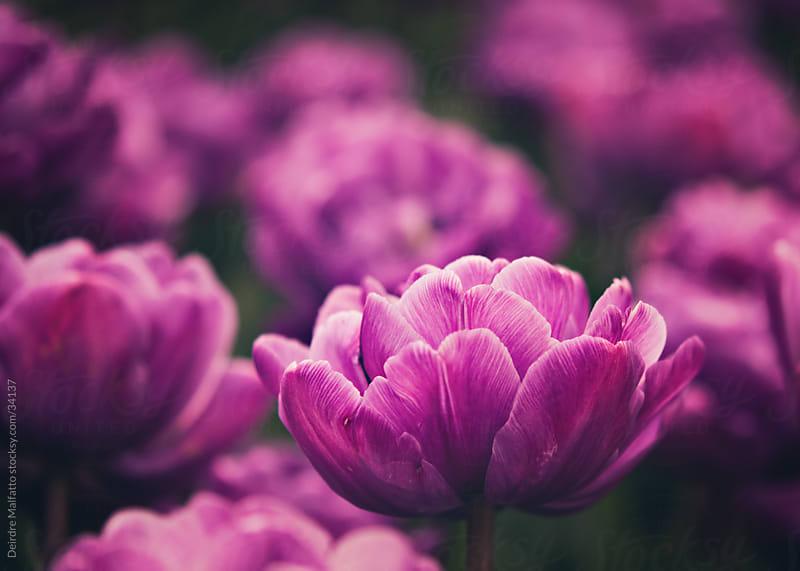 vibrant purple tulip garden by Deirdre Malfatto for Stocksy United