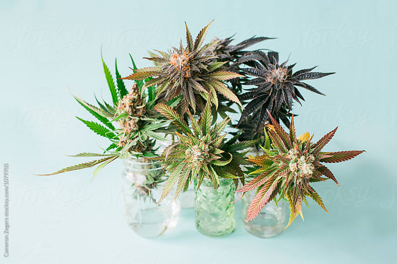 group of marijuana plant cuttings on pastel blue background by Cameron Zegers for Stocksy United