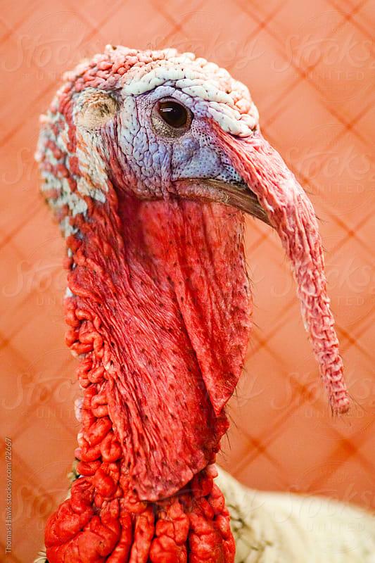 old turkey by Thomas Hawk for Stocksy United