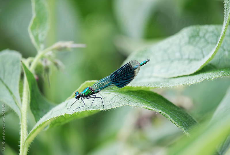 Male Banded Demoiselle damselfly (Calopteryx splendens). Norfolk by Liam Grant for Stocksy United