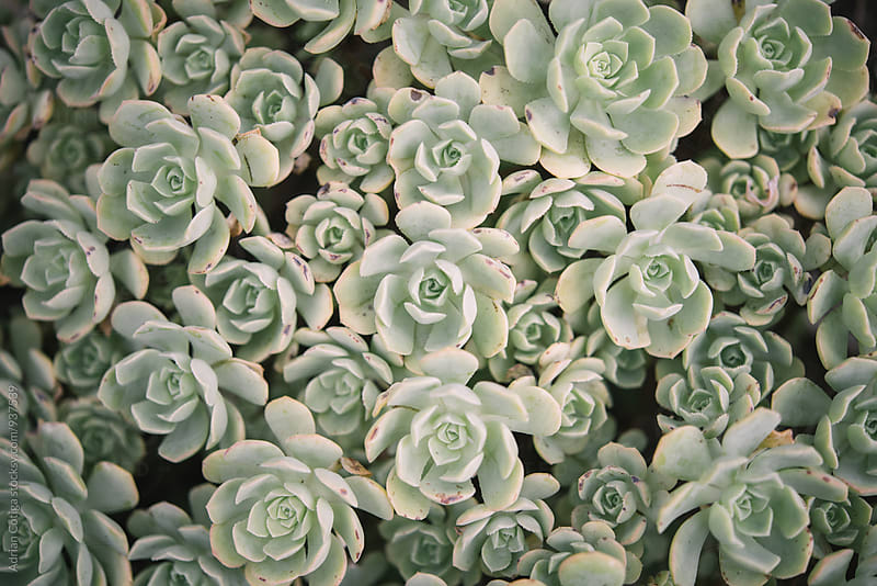 A succulent cactus plant from above by Adrian Cotiga for Stocksy United