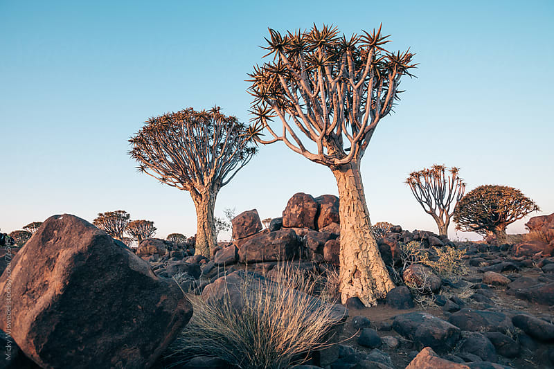 Namibian Quiver Trees by Micky Wiswedel for Stocksy United