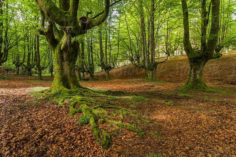 Beautiful old beech forest by Marilar Irastorza for Stocksy United