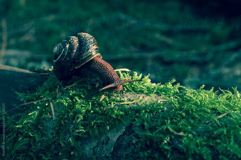 A snail on a mossy log by Richard Brown for Stocksy United
