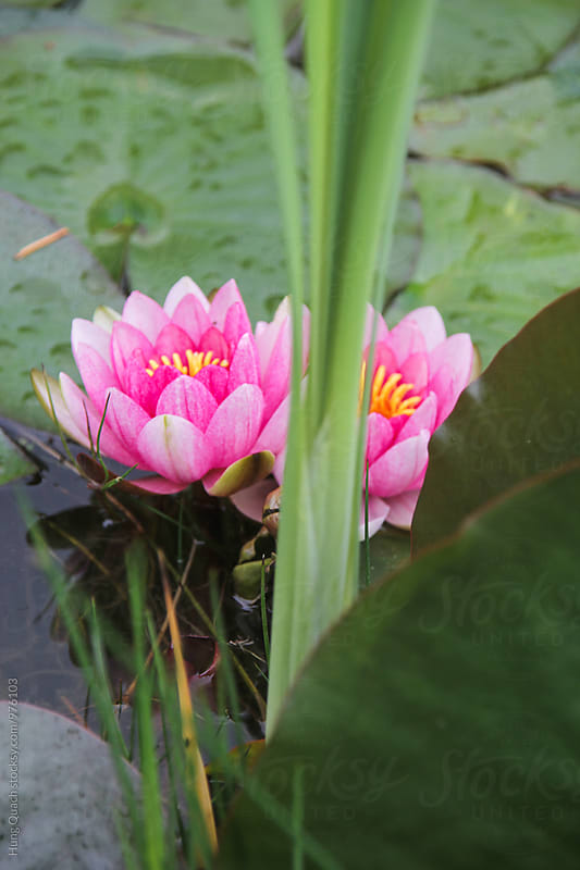Lotus Flower by Hung Quach for Stocksy United