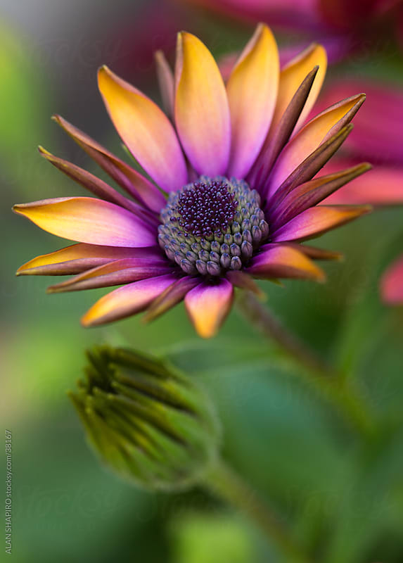 A colorful flower greeting the day by ALAN SHAPIRO for Stocksy United