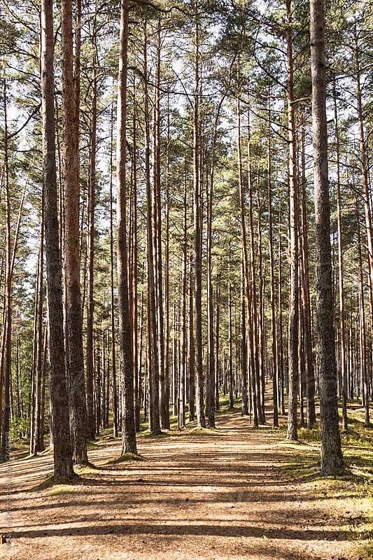 Sunlit pine forest in the Lahemaa National Park, Estonia by Melanie Kintz for Stocksy United