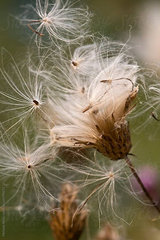 Thistle Seeds about to take off by Melanie Kintz for Stocksy United