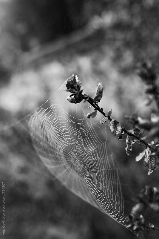 Spider web covered in morning dew by Amy Covington for Stocksy United