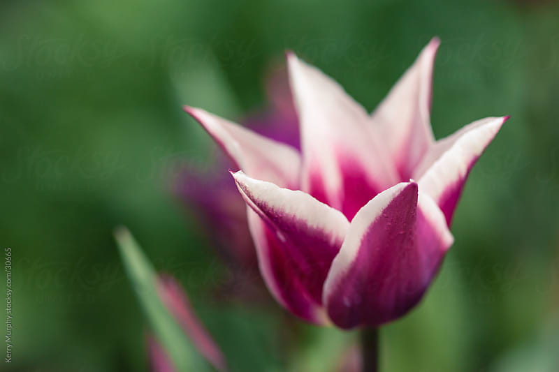 Close up of purple tulip bloom in spring by Kerry Murphy for Stocksy United