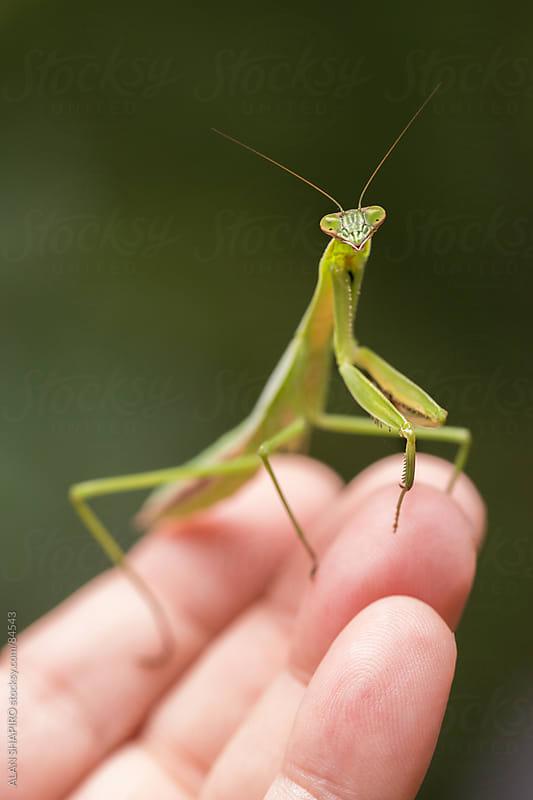 Praying mantis on my hand by ALAN SHAPIRO for Stocksy United