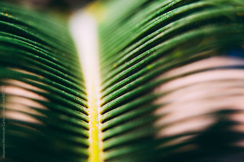 Close up of a green palm tree leaf by Alejandro Moreno de Carlos for Stocksy United