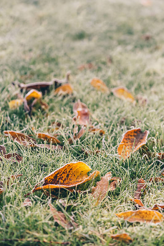 Fallen autumn leaves lie on the frost covered grass by Rebecca Spencer for Stocksy United