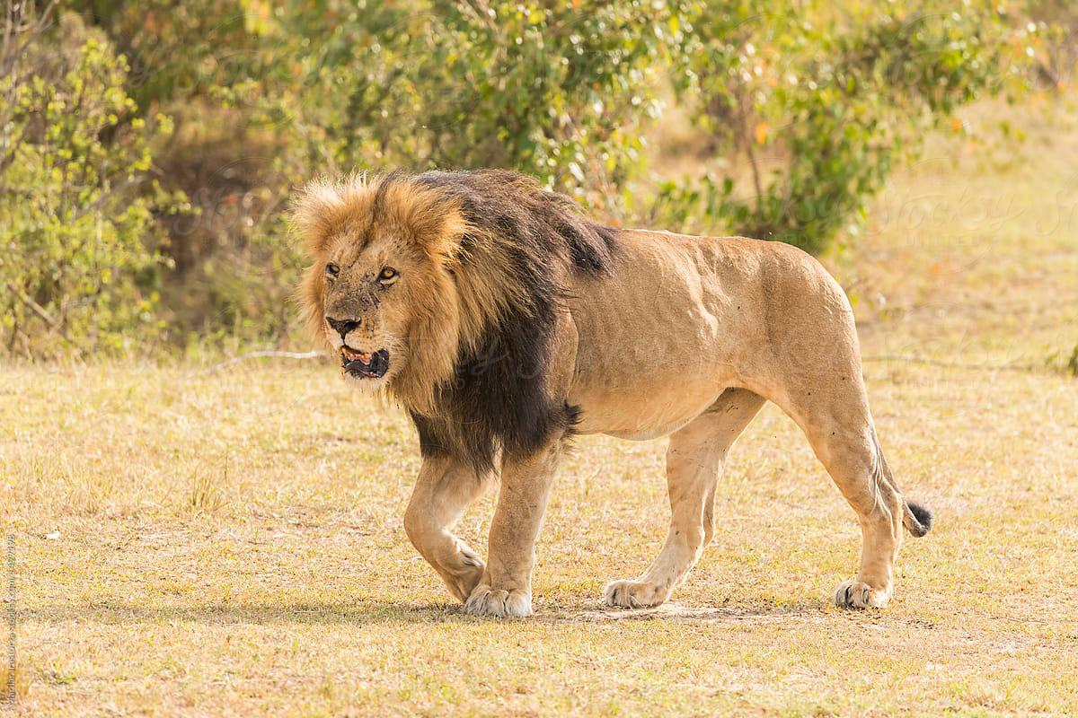 male lion walking stocksy united