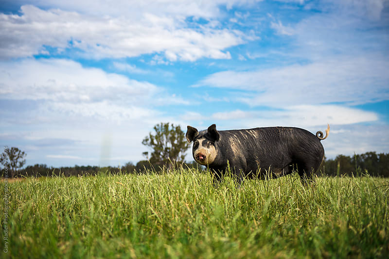 Full grown Berkshire Sow by Gary Radler Photography for Stocksy United