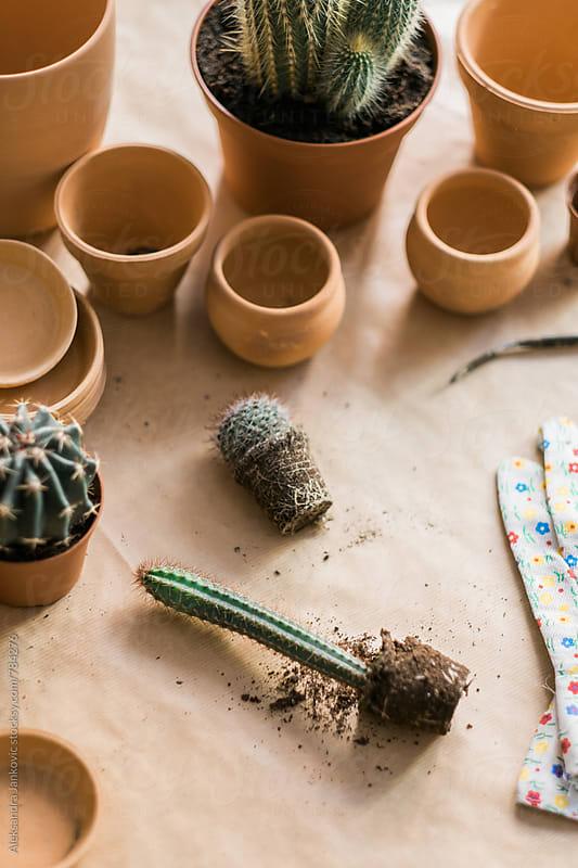 Transplanting a Small Cactus by Aleksandra Jankovic for Stocksy United