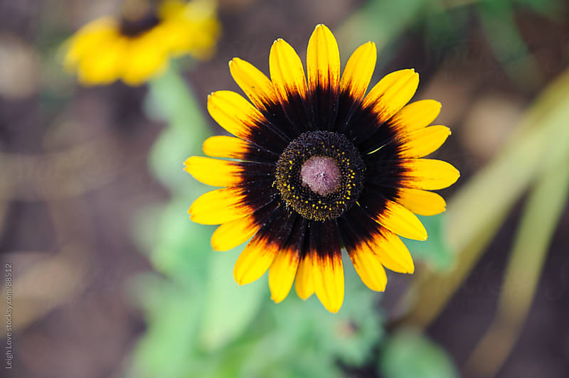 Black Eyed Susan by Leigh Love for Stocksy United