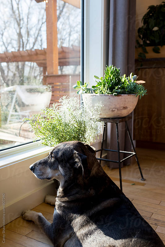 Dog looking out large window by Carey Shaw for Stocksy United