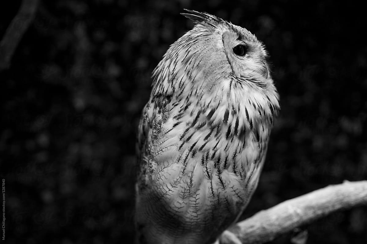 Black and white portrait of a white eurasian eagle owl