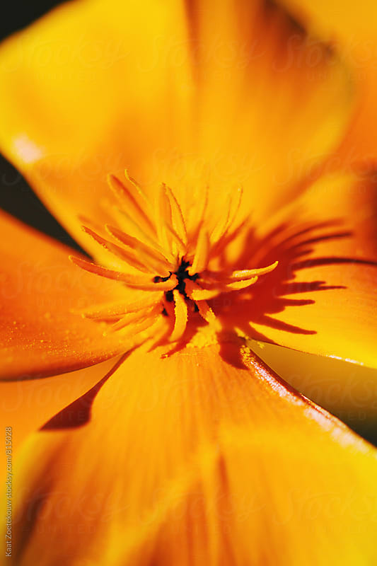 Bright sunlit California Poppy close-up by Kaat Zoetekouw for Stocksy United