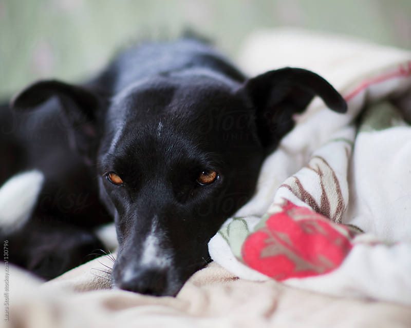 Sleepy and cozy brown eyed dog by Laura Stolfi for Stocksy United