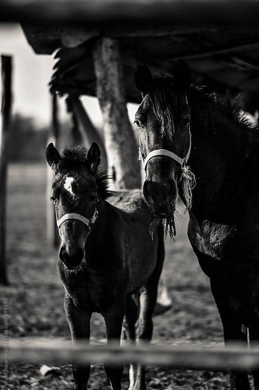 horses by Koki Jovanovic for Stocksy United