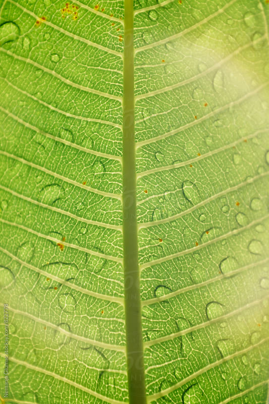 Beautiful Green Wet Leaf Texture by Nemanja Glumac for Stocksy United