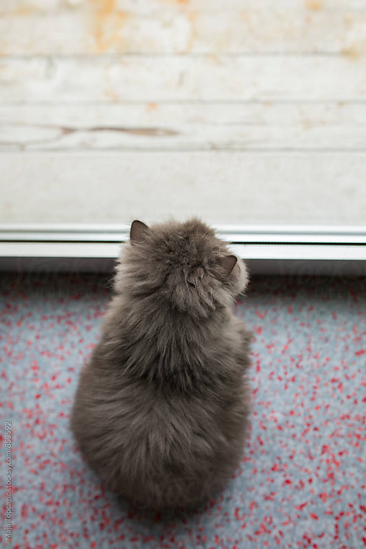 Persian cat indoors by Maja Topcagic for Stocksy United