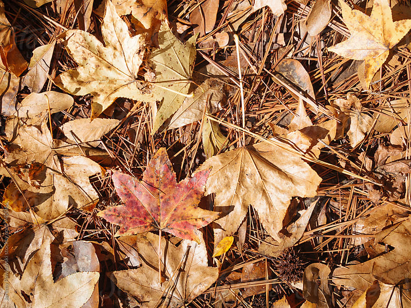 Dead leaves and pine needles on forest floor by Jeremy Pawlowski for Stocksy United