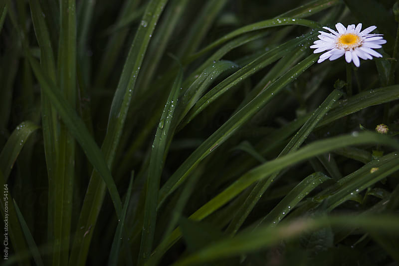 A daisy peaks out of wet, green foliage on a rainy day. by Holly Clark for Stocksy United