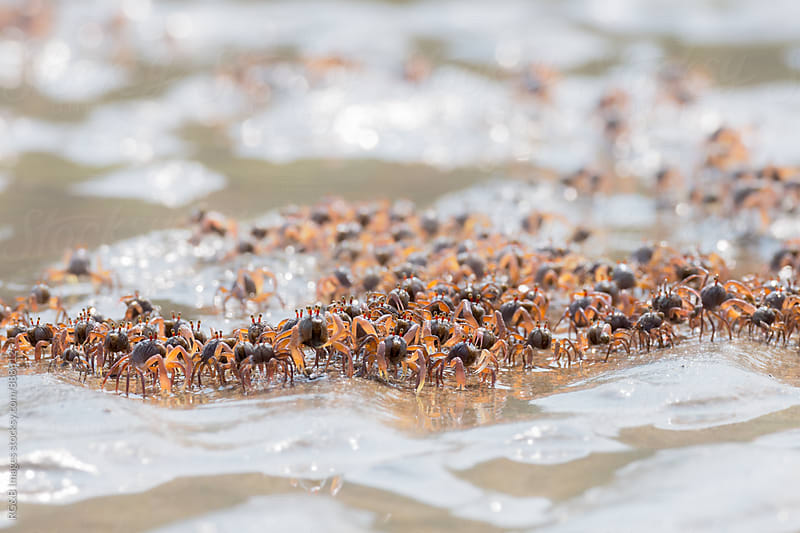 Dozens of small crabs walking out from the sea by RG&B Images for Stocksy United
