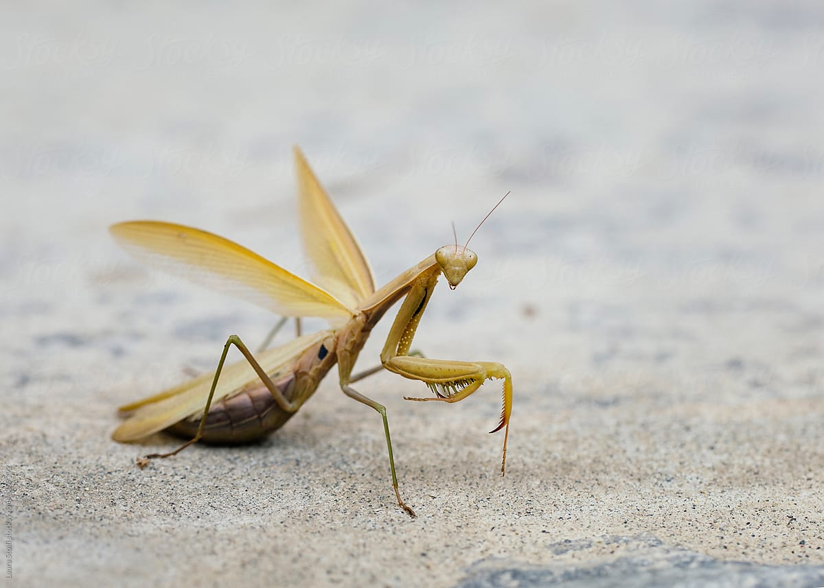 Pregnant Praying Mantis On Stone Pavement In Autumn By Laura