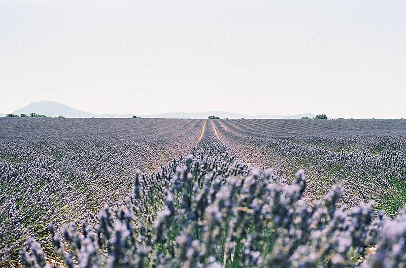 Lavender fields at Plateau De Valensole in Provence, France by Atle Rønningen for Stocksy United