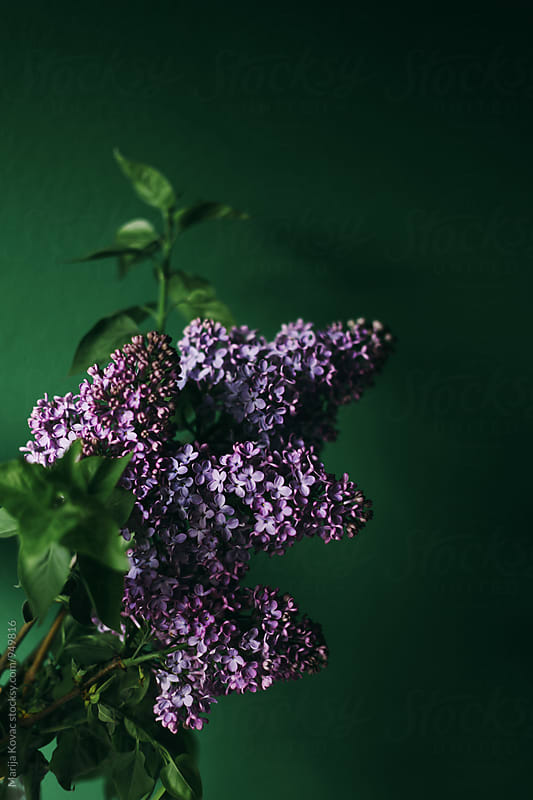 Lilac on a green background, vertical by Marija Kovac for Stocksy United