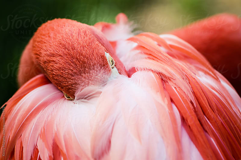 Close up of pink flamingo bird napping by Kerry Murphy for Stocksy United