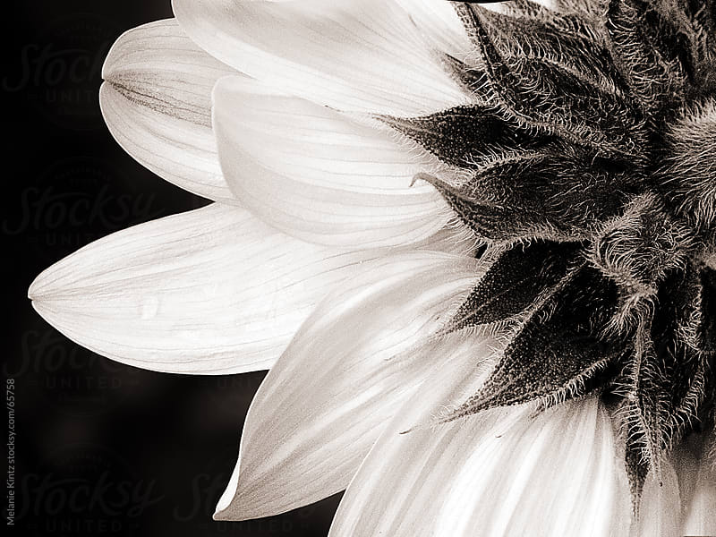 Monochromatic image of a sunflower, shot from behind by Melanie Kintz for Stocksy United